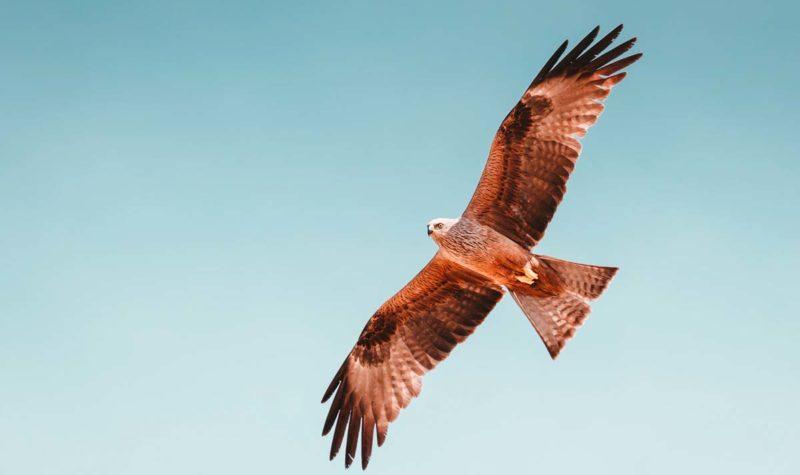 placeholder-hawk-in-flight